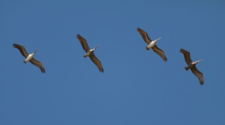 Pelican Parade: A string of brown pelicans in early morning flight over beach marsh land