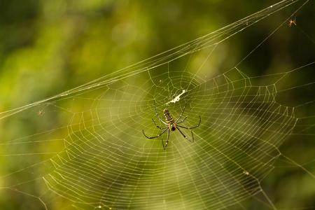 Nephila maculata - Giant wood spider on web
