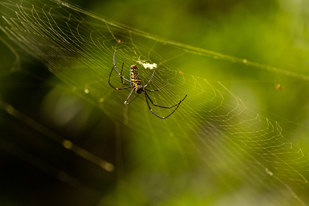 Nephila Maculata, Giant Wood Spider
