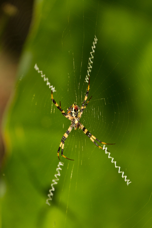 WEAVER: Spider on the web in jungle with special web