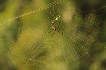 golden orb weaver: female Golden Web Spider Nephila pilipes