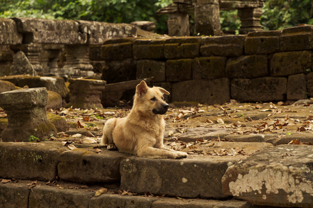 Wild street dog protects Ankor wat Cambodia