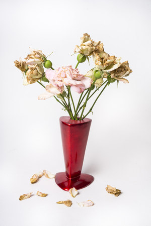Dead roses in the red vase on the white background Stock Photo