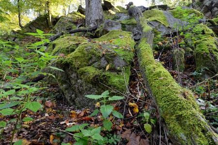 maleza: Verde musgo en rocas y árboles en el bosque Foto de archivo