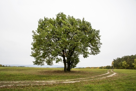 Lonely tree at the empty green field.
