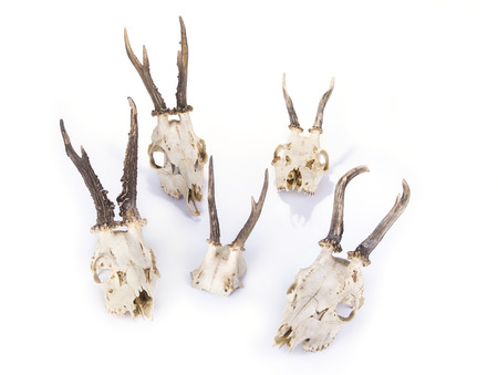 Young deer skull on a white background