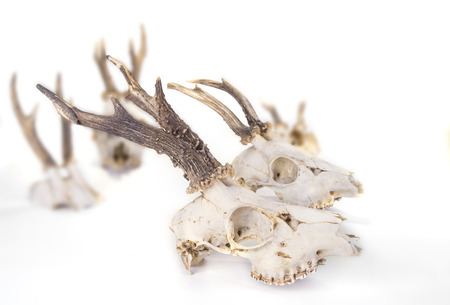 Young deer skull on a white background Stock Photo - 124696833