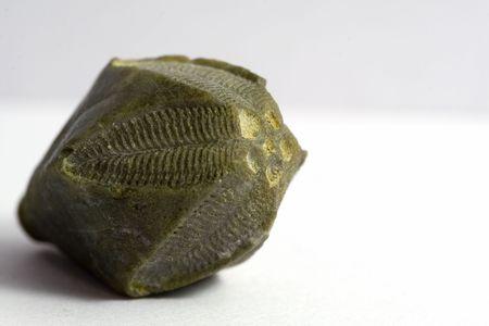 Kopalnych bezkręgowców echinoderm, okres karbonu Zdjęcie Seryjne - 818879