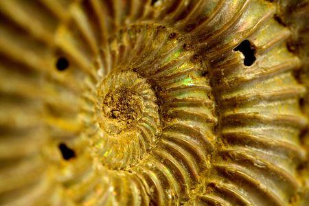 ammonites of the jurassic period