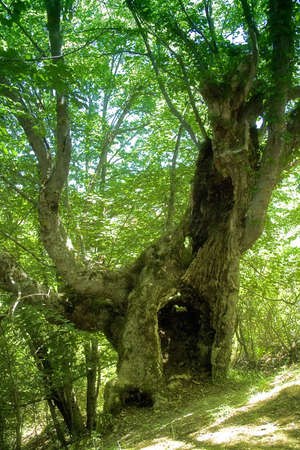 ramification: A big old tree in the secolar forest in the sicilian hinterland. Stock Photo