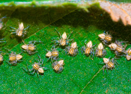 macrophotography: Extreme macrophotography of the young spiders on an leaf