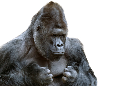 Portrait of a grumpy gorilla isolate Фото со стока