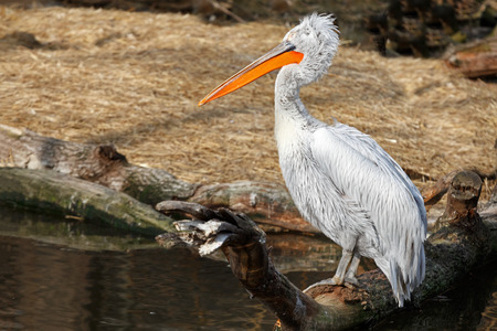 Pelican sitting on a snag on the lake Stock Photo