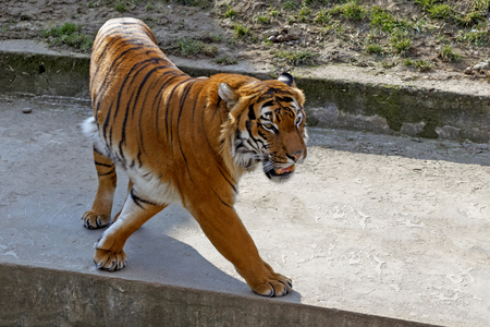tiger walking through the aviary