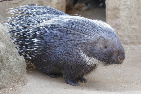 Portrait of a cute porcupine Stock Photo