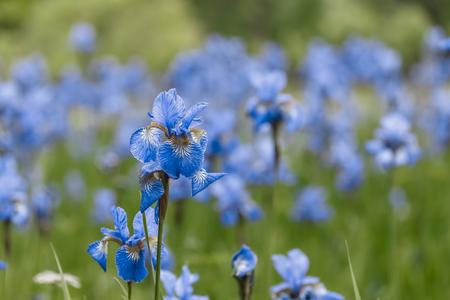 Blue irises grow on the field