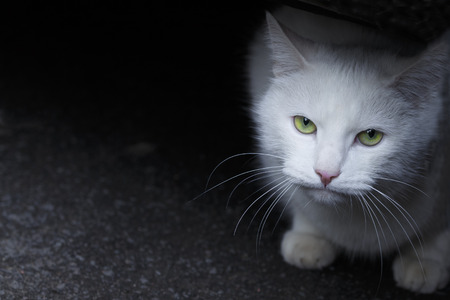 Portrait of a white cat with green eyes on a dark background. Place for text, copyspace Stok Fotoğraf