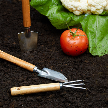 The shovel and rake lie on the ground next to fresh vegetables. Growing fruits and vegetables