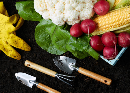 Garden equipment: a Shovel and rake and gloves lie on the ground next to fresh vegetables. Growing fruits and vegetables
