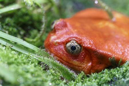 Red frog with beautiful eyes sitting in the green grass