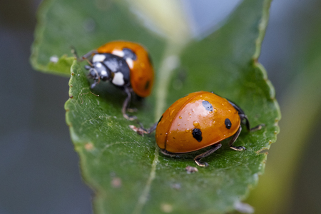 Ladybug crawling on a leaf Stock Photo