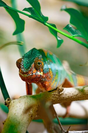 Adult male Chameleon on a branch. Close-up, photographed against the background of the jungle. Color changer reptile animal chamaeleo