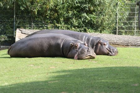two hippos lie on the lawn to rest. the concept of body positive.
