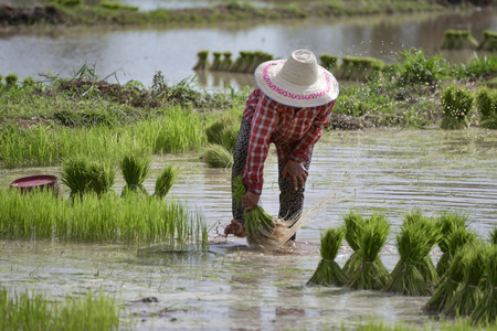 transplant: transplant rice seedlings