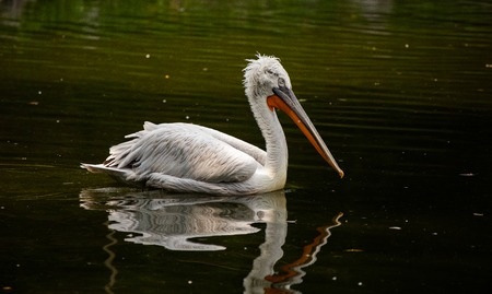 A swimming pelican in a dutch zoo 스톡 콘텐츠