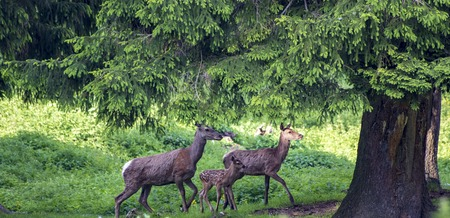 sweet wild deer family in the forest