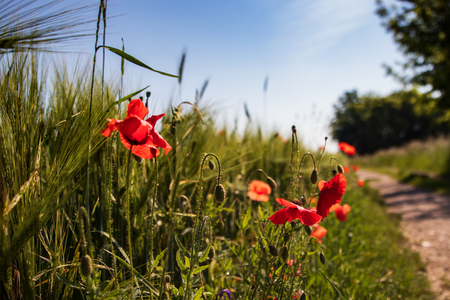 red poppies on green field Imagens