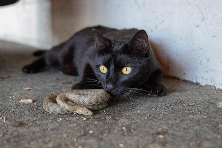 Domestic cat hunting adder snake in garden.