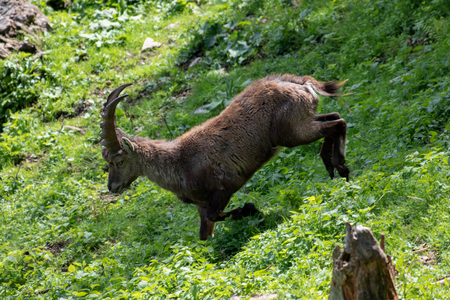 adult natural male alpine ibex capricorn standing in green meadow, sunshine, shadow