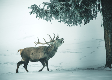 A beautiful red deer standing in front of a snowy landscape with a beautiful snowed background in the forest in austria