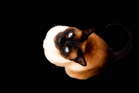 Thai siam cat with blue eyes on black background