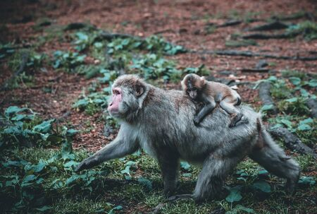 Baby macaque monkey and his caring mother in the nature on a summer day in the nature
