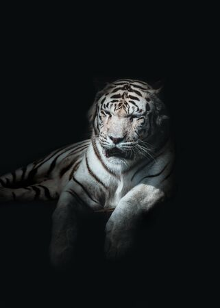 White kings Tiger portrait sur fond noir