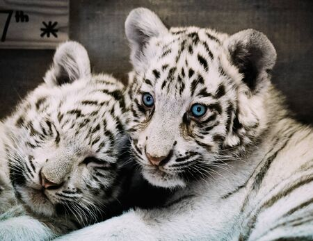 two White Tiger babys in a zoo in lower austria