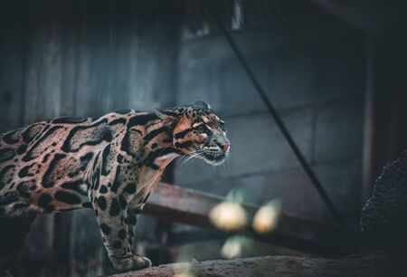 The portrait of leopard Nebel Parder in a Zoo in Austria Stock Photo