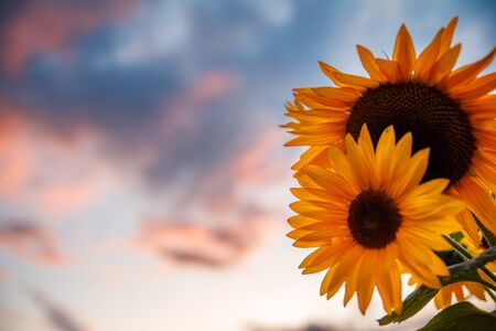 blooming sunflowers on a background sunset in summer Foto de archivo - 128284787