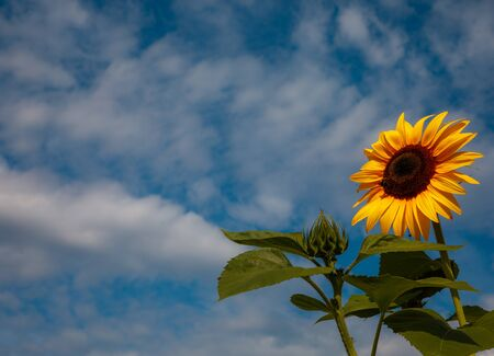 Beautiful sunflower against blue sky background in summer