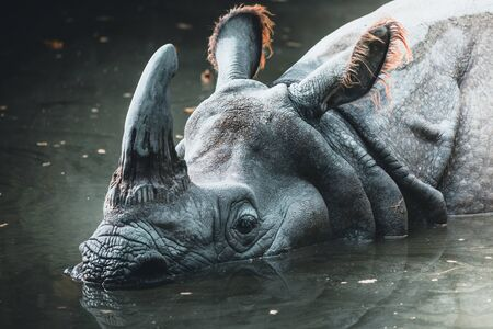 Dirty rhino in the muddy water in a zoo in austria