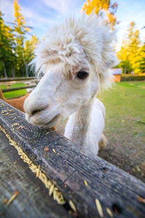 Portrait of an white Alpaca on a farm in austria
