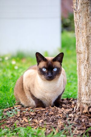 Siamese cat portrait close up in the nature in summer