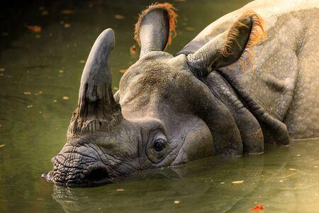 Dirty rhino in the muddy water in a zoo Stockfoto