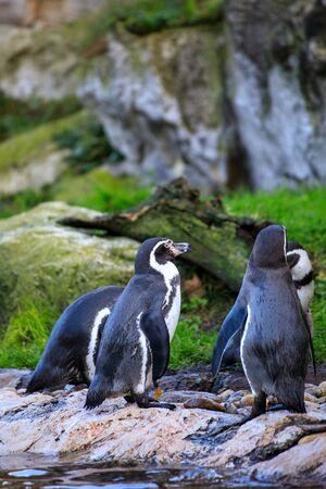 cute penguin portrait closeup in the nature