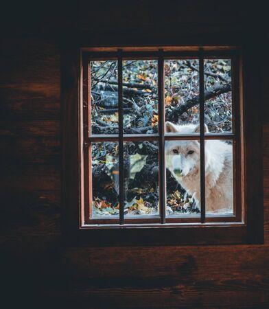 White wolf portrait in the autumn forest in austria