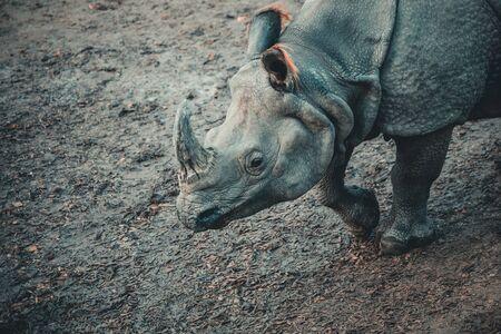 Dirty rhino on the muddy ground of a zoo in austria Stockfoto