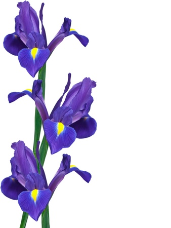 irises: purple iris flower isolated on white background