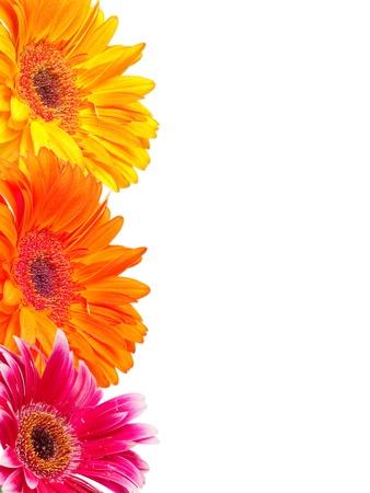 gerber Blume auf weißem Hintergrund Standard-Bild